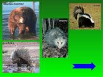 ведмідь-барибал дикобраз опосум скунс