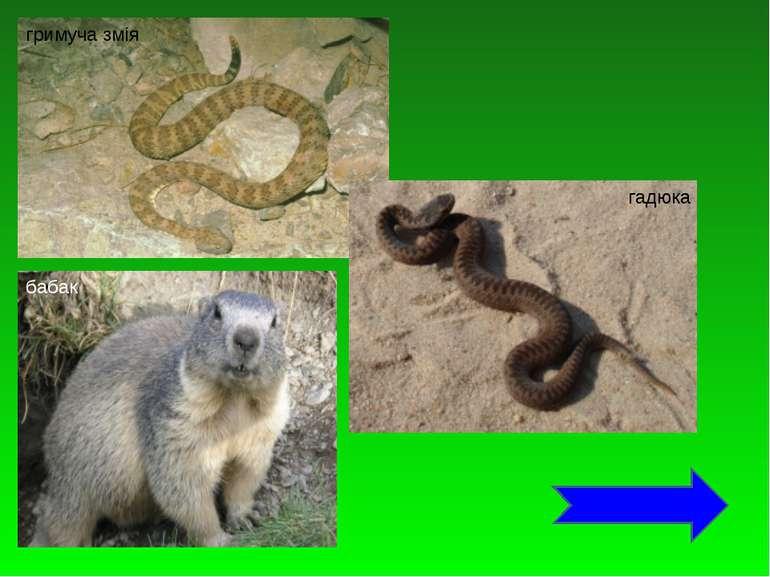 гримуча змія гадюка бабак