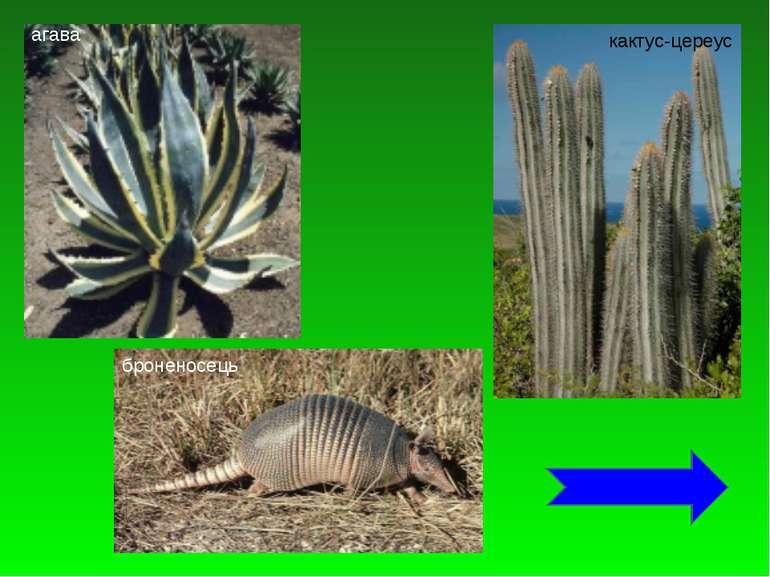 агава кактус-цереус броненосець