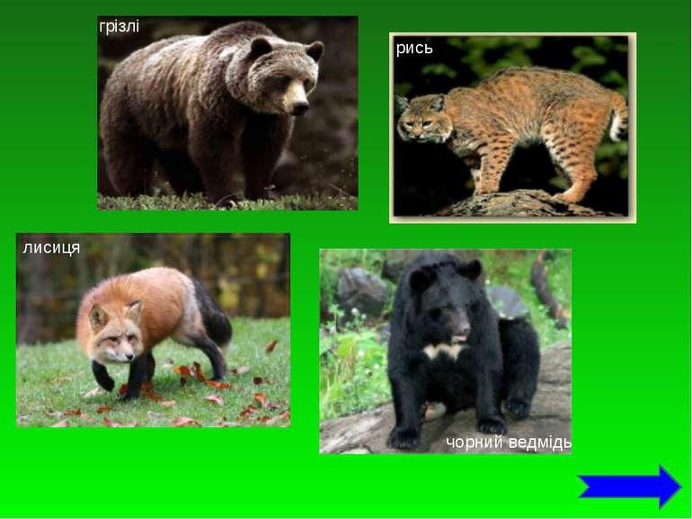 грізлі рись лисиця чорний ведмідь