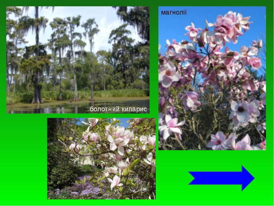 болотний кипарис магнолії