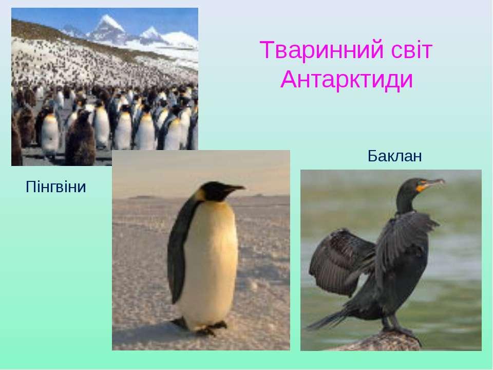 Тваринний світ Антарктиди Пінгвіни Баклан