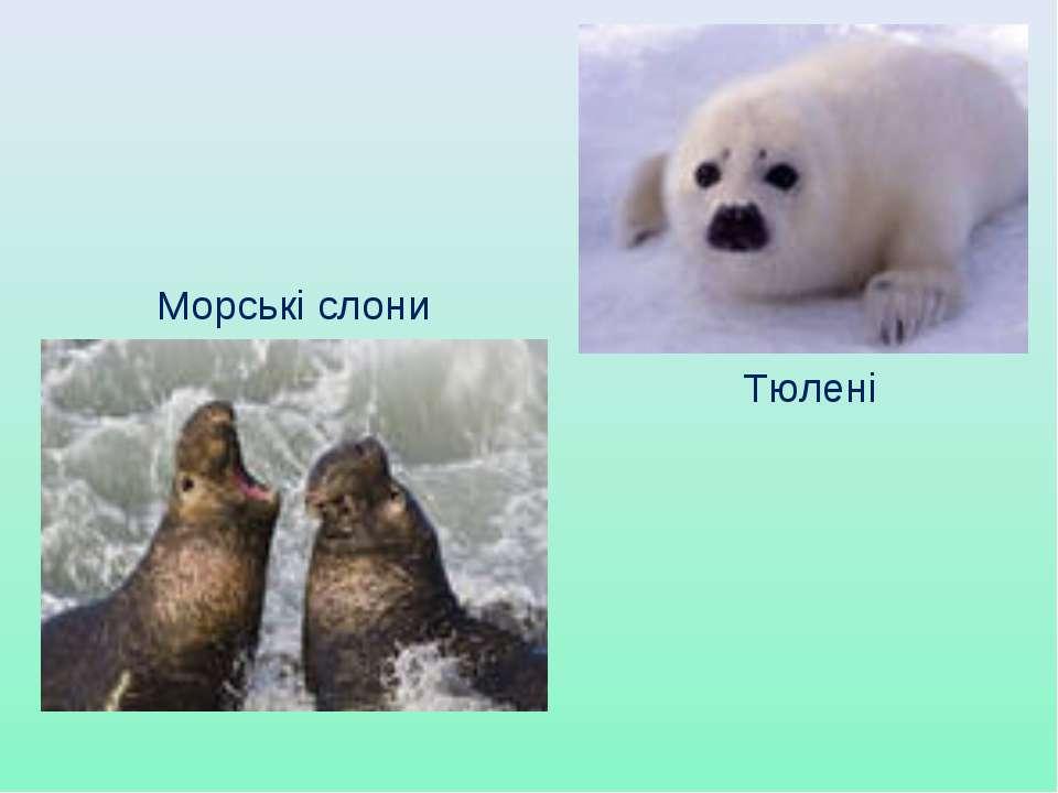 Тюлені Морські слони
