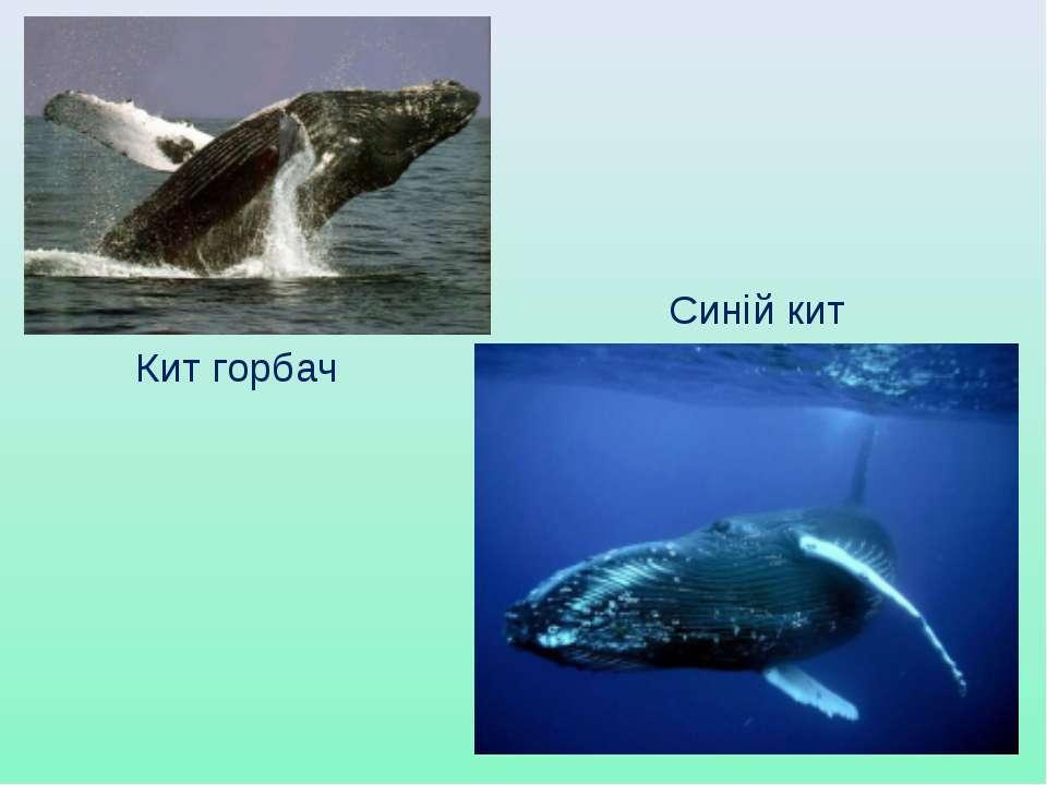 Кит горбач Синій кит