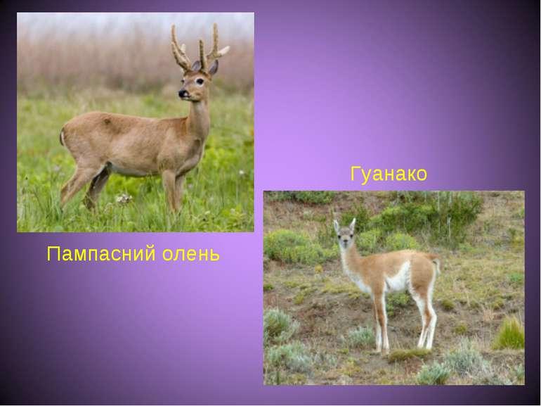 Пампасний олень Гуанако