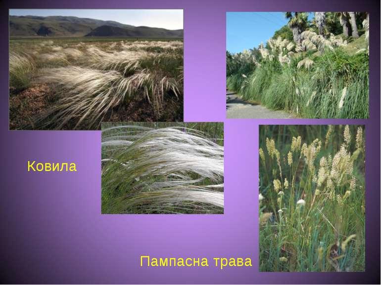 Ковила Пампасна трава