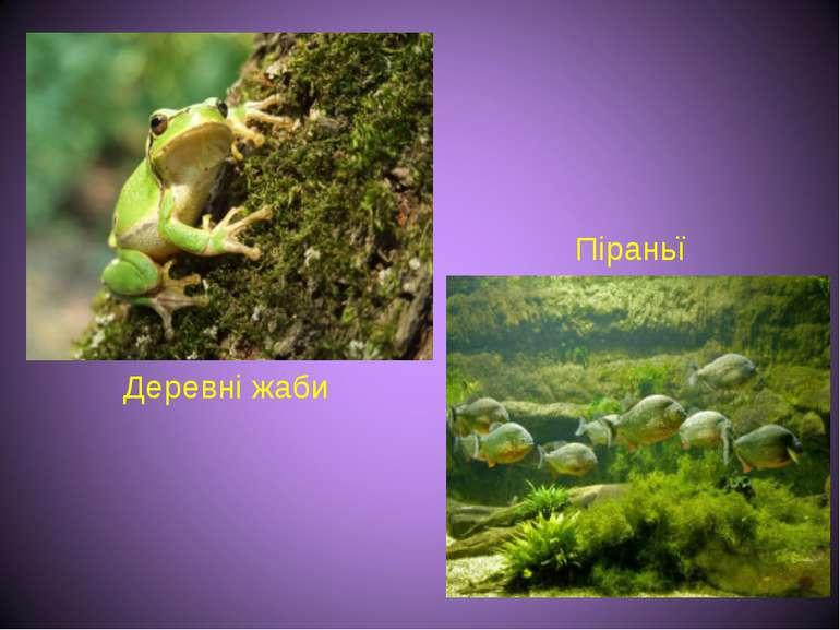 Деревні жаби Піраньї