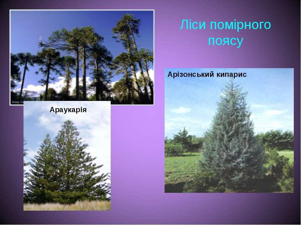 Ліси помірного поясу Араукарія Арізонський кипарис