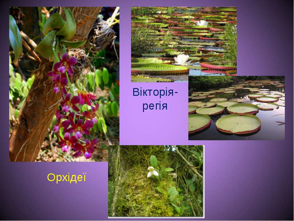 Вікторія-регія Орхідеї