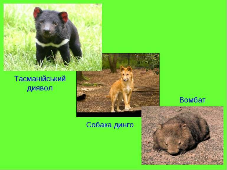 Тасманійський диявол Собака динго Вомбат