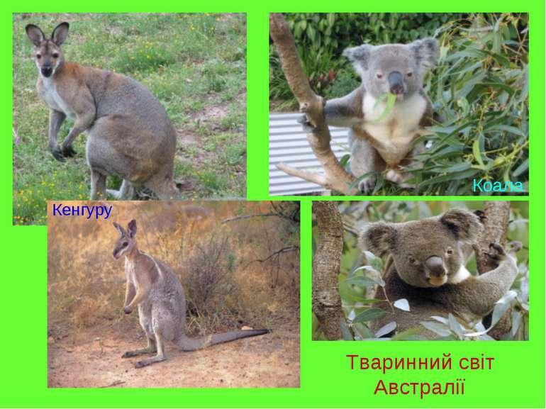 Тваринний світ Австралії Кенгуру Коала