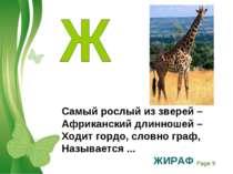 Самый рослый из зверей – Африканский длинношей – Ходит гордо, словно граф, На...