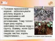 Головне призначення кореня - забезпечувати рослину водою з розчиненими в ній ...