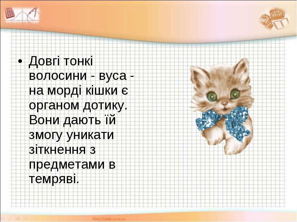 Довгі тонкі волосини - вуса - на морді кішки є органом дотику. Вони дають їй ...