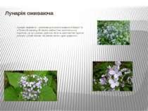 Лунарія оживаюча Лунарія оживаюча –реліктова рослина поширена в Європі та в ...