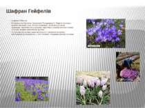 Шафран Гейфелів Шафран Гейфелів В Українських Карпатах, Закарпатті, Передкарп...