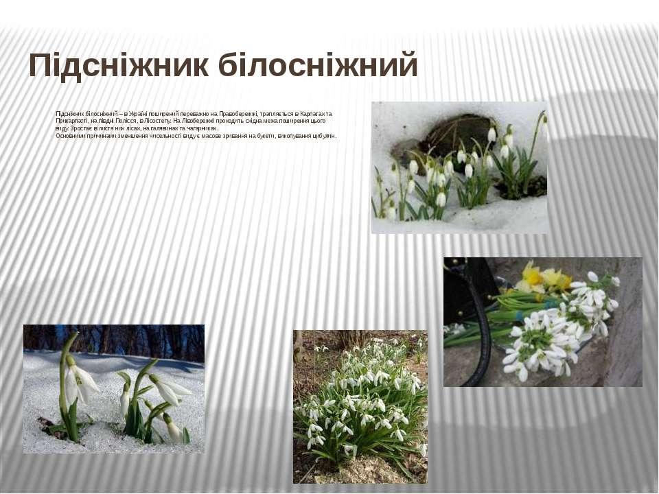Підсніжник білосніжний Підсніжник білосніжний– в Україні поширений переважно...