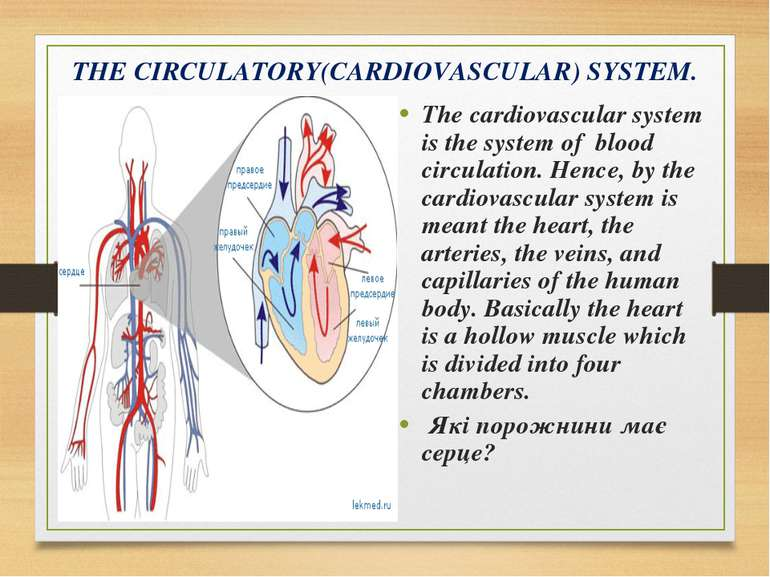 THE CIRCULATORY(CARDIOVASCULAR) SYSTEM. The cardiovascular system is the syst...