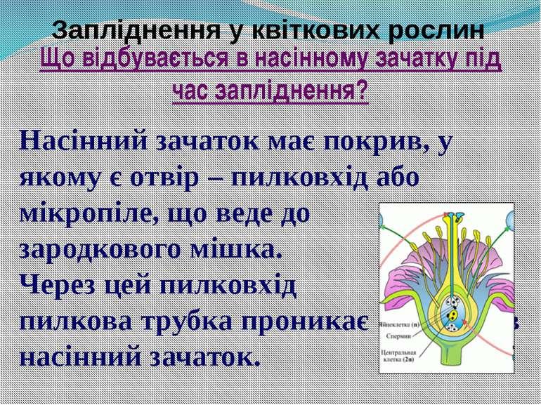 Запліднення у квіткових рослин Насінний зачаток має покрив, у якому є отвір –...