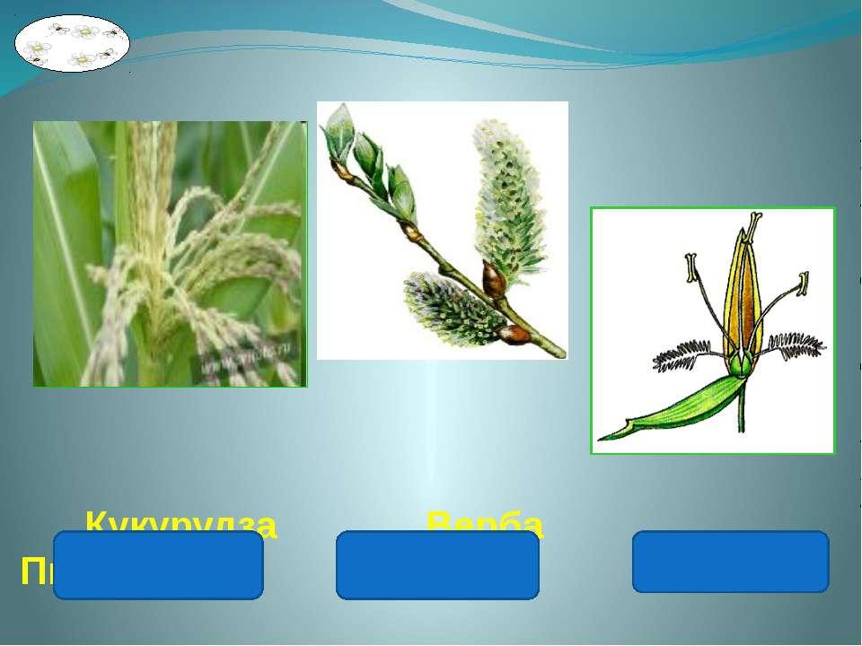 Кукурудза Верба Пшениця
