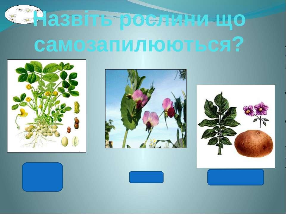 Назвіть рослини що самозапилюються? Арахіс Горох Картопля