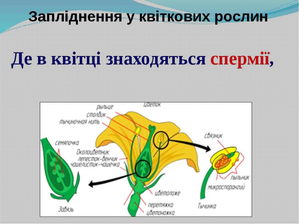 Де в квітці знаходяться спермії, а де яйцеклітини? Запліднення у квіткових ро...