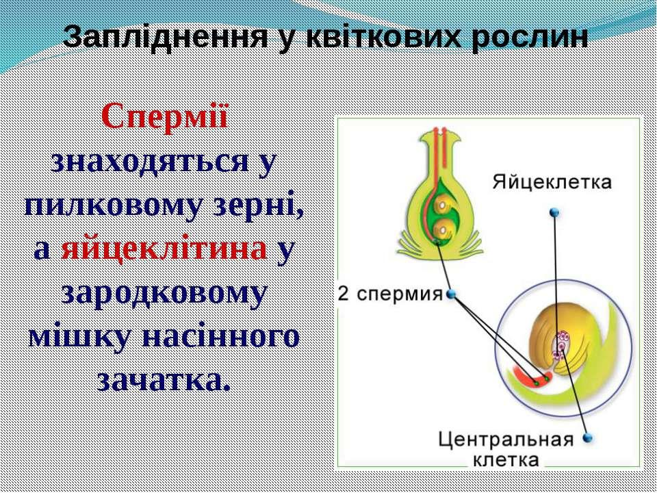 Запліднення у квіткових рослин Спермії знаходяться у пилковому зерні, а яйцек...