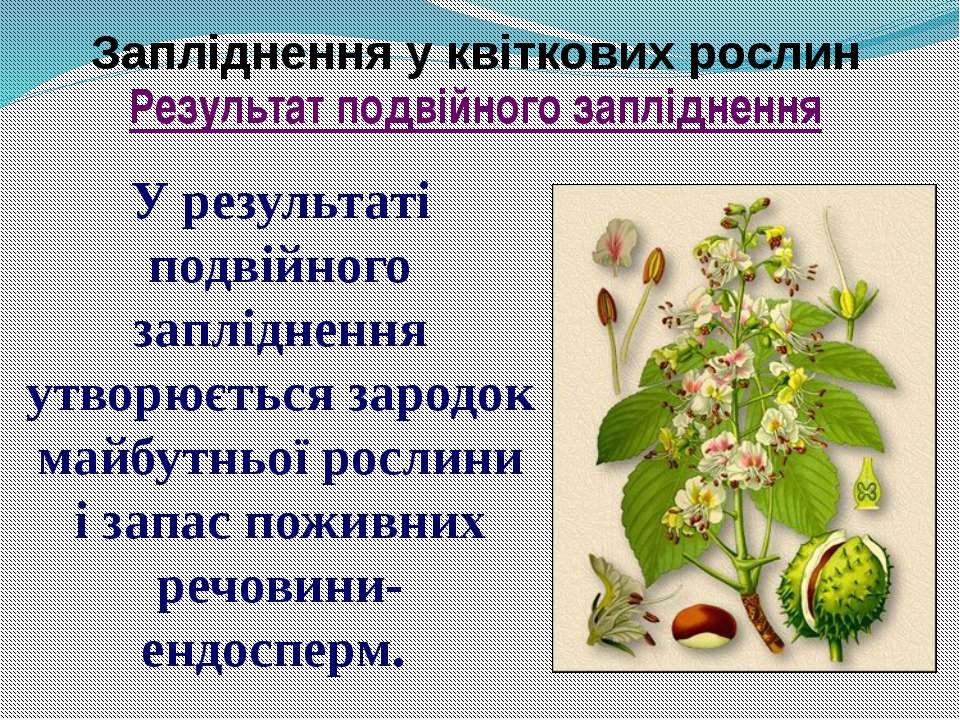 Запліднення у квіткових рослин У результаті подвійного запліднення утворюєтьс...