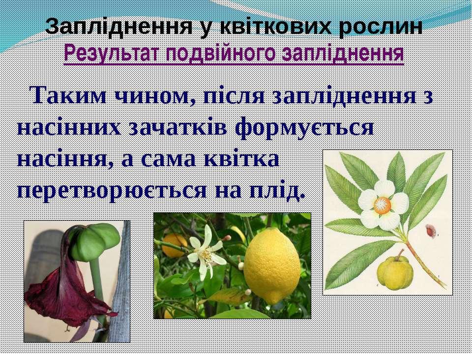 Запліднення у квіткових рослин Таким чином, після запліднення з насінних зача...