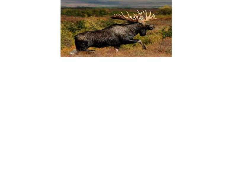 У самців є величезні (найбільші у сучасних ссавців) роги, нерідко лопатоподіб...