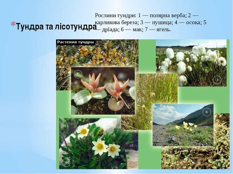 Тундра та лісотундра Рослини тундри: 1 — полярна верба; 2 — карликова береза;...