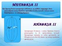 При другому діленні центромери поводяться як подвійні структури. Вони організ...