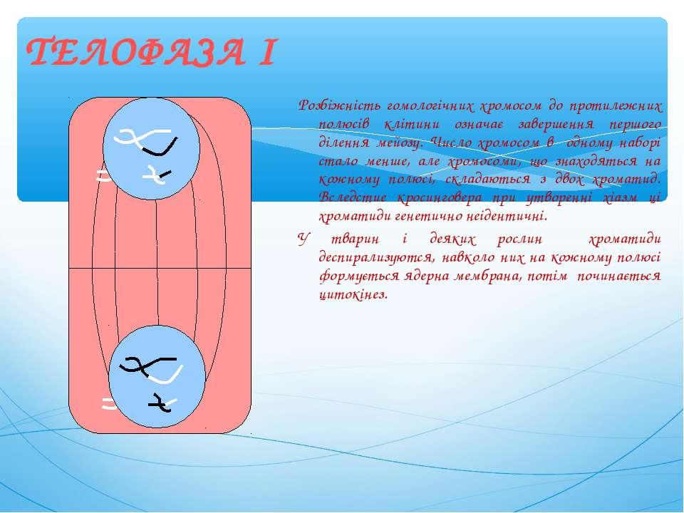 Розбіжність гомологічних хромосом до протилежних полюсів клітини означає заве...