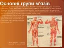 Основні групи м'язів М'язи поясу нижніх кінцівок випрямляють зігнутий наперед...