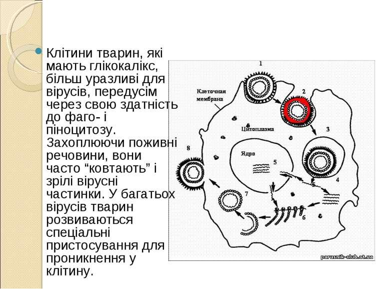 Клітини тварин, які мають глікокалікс, більш уразливі для вірусів, передусім ...