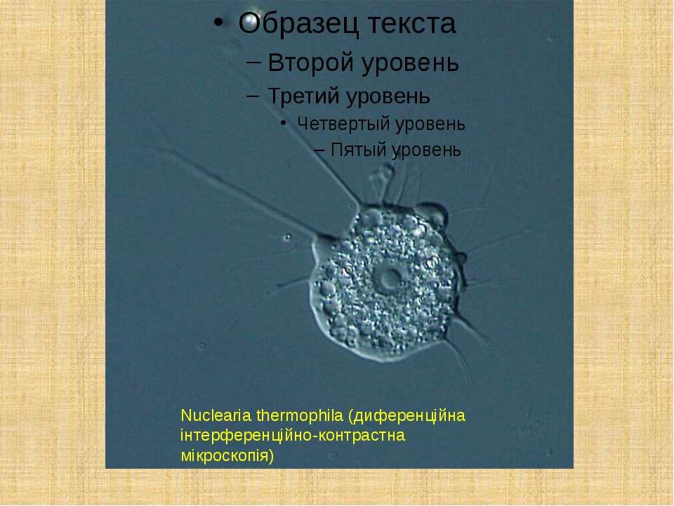 Nuclearia thermophila (диференційна інтерференційно-контрастна мікроскопія)