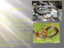 ПОЛОЗ ЛІСОВИЙ Ряд Лускаті - Squamata Родина Вужеві - Colubridae Статус - ІІI ...