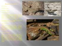 Ящірка прудка Ряд Лускаті Під ряд Ящірки Вид Ящірка прудка Поширення виду Роз...