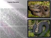 Гадюка Звичайна Гадюка звичайна відносно невелика в розмірах, довжиною до 75 ...