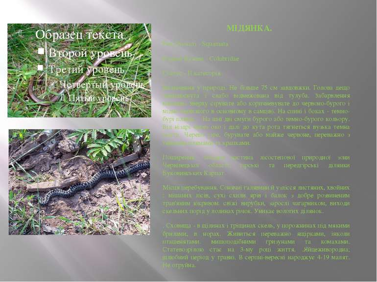 МІДЯНКА. Ряд Лускаті - Squamata Родина Вужеві - Colubridae Статус - ІI катего...