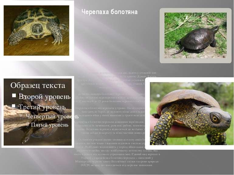 Черепаха болотяна Цей вид черепах поширений повсюдно, навіть у степовій зоні ...