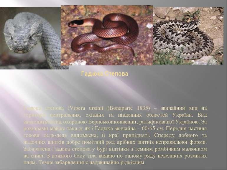 Гадюка Степова Гадюка степова (Vipera ursinii (Bonaparte 1835) – звичайний ви...
