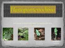 Загальна характеристика та представники папоротеподібних карликова маратія Ан...