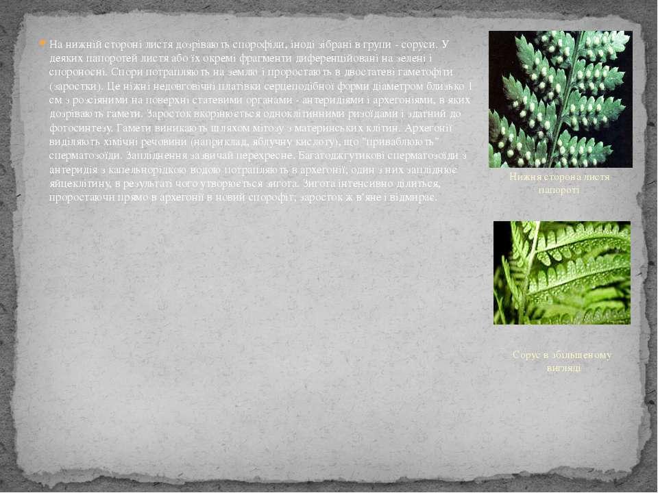 На нижній стороні листя дозрівають спорофіли, іноді зібрані в групи - соруси....