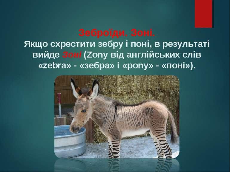 Зеброїди. Зоні. Якщо схрестити зебру і поні, в результаті вийде Зоні (Zony ві...