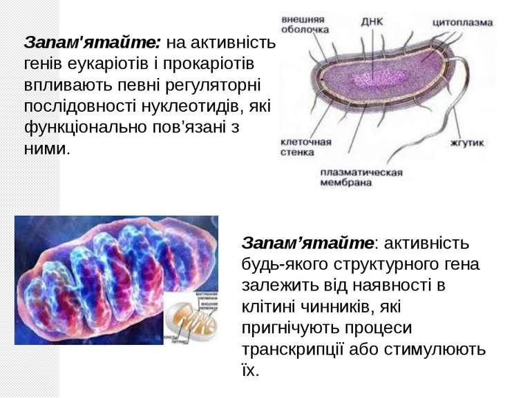 Запам'ятайте: на активність генів еукаріотів і прокаріотів впливають певні ре...