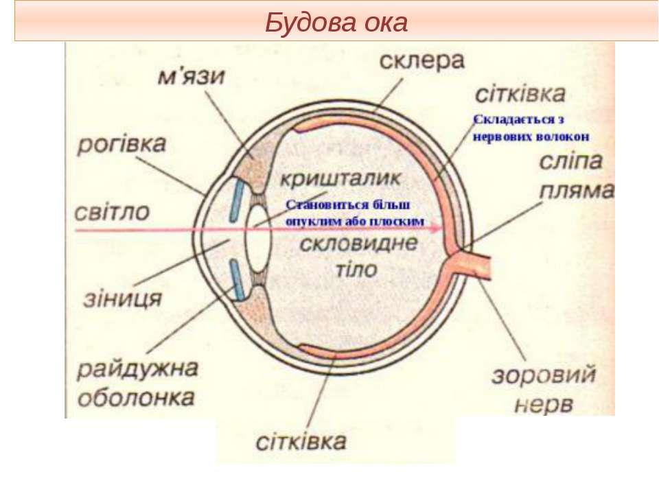 Будова ока