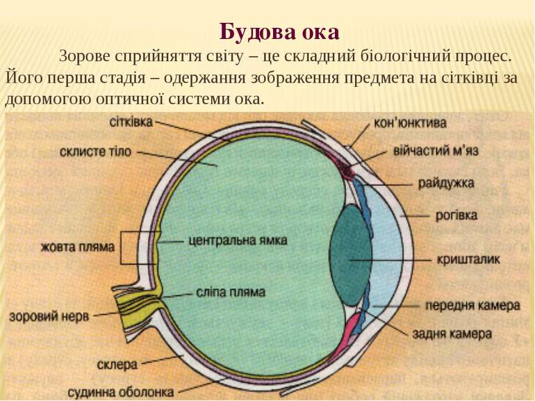 Будова ока Зорове сприйняття світу – це складний біологічний процес. Його пер...