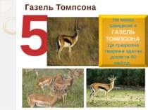 Газель Томпсона 5 Не менш швидкою є ГАЗЕЛЬ ТОМПСОНА. Ця граціозна тварина зда...