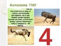 Антилопа ГНУ 4 Антилопа Гну теж не поступається ні леву, ні газель, але вчени...